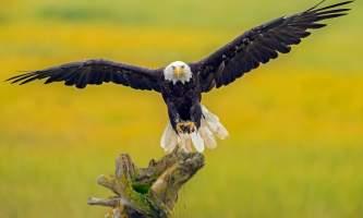 Alaska eagle homer homer alaska eagle michael kuijl C2013 Michael Kuijl all rights reserved