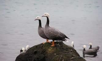 Alaska species birds Empire goose pair on rocks J Wasley med