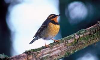Alaska species birds FWS Menke Varied Thrush