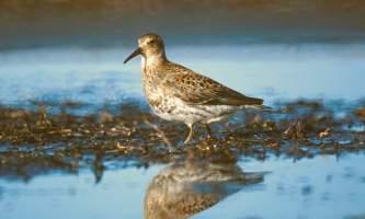 Alaska species birds FWS Tim Bowman rocksandpiper