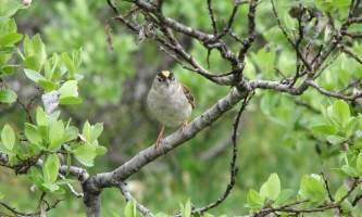 Alaska species birds Golden Crowned Sparrow