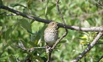 Alaska species birds Hermit Thrush