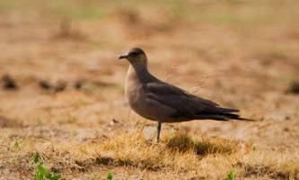 Alaska species birds Parasitic Jaeger AK 3 2620