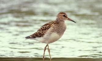 Alaska species birds Pectoral Sandpiper close C Ely med