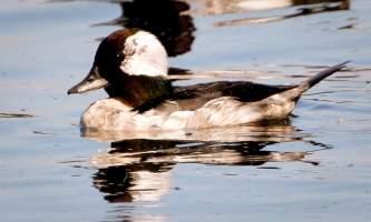Alaska species birds bufflehead