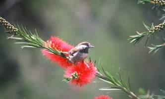 Alaska species birds chestnut backed chickadee