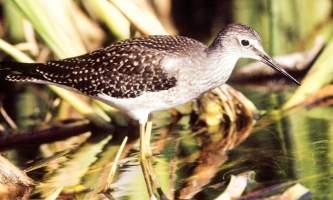 Alaska species birds lesser yellowlegs