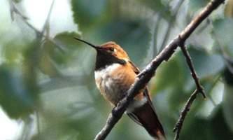 Alaska species birds rufous hummingbird