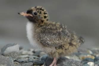 Alaska species birds Arctic Tern chick 4 2451