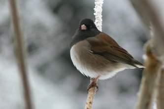Alaska species birds Dark Eyed Junco