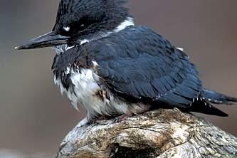 Alaska species birds FWS C Schuale beltedkingfisher