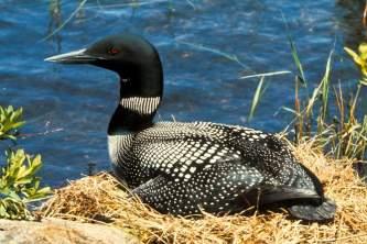 Alaska species birds FWS commonloon on nest 2