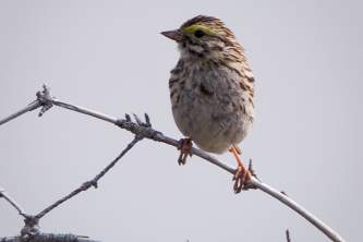 Alaska species birds Savannah Sparrow 2505