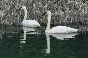 Alaska species birds Trumpeter Swans resized