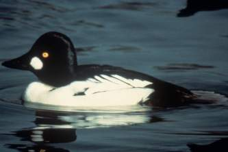 Alaska species birds common golden eye