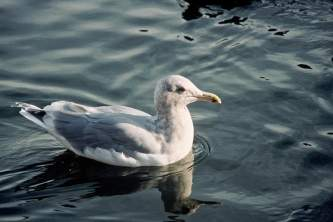 Alaska species birds glaucous winged gull