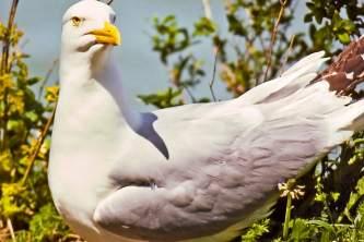 Alaska species birds herring gull