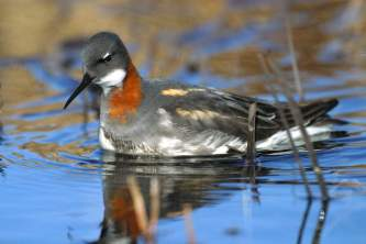 Alaska species birds red necked phalarope