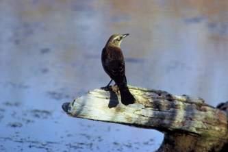 Alaska species birds rustyblackbird by Dave Menke