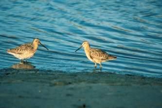 Alaska species birds short billed dowitcher