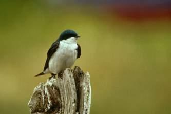 Alaska species birds tree swallow
