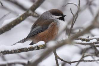 Birds from google Boreal Chickadee BIRDS