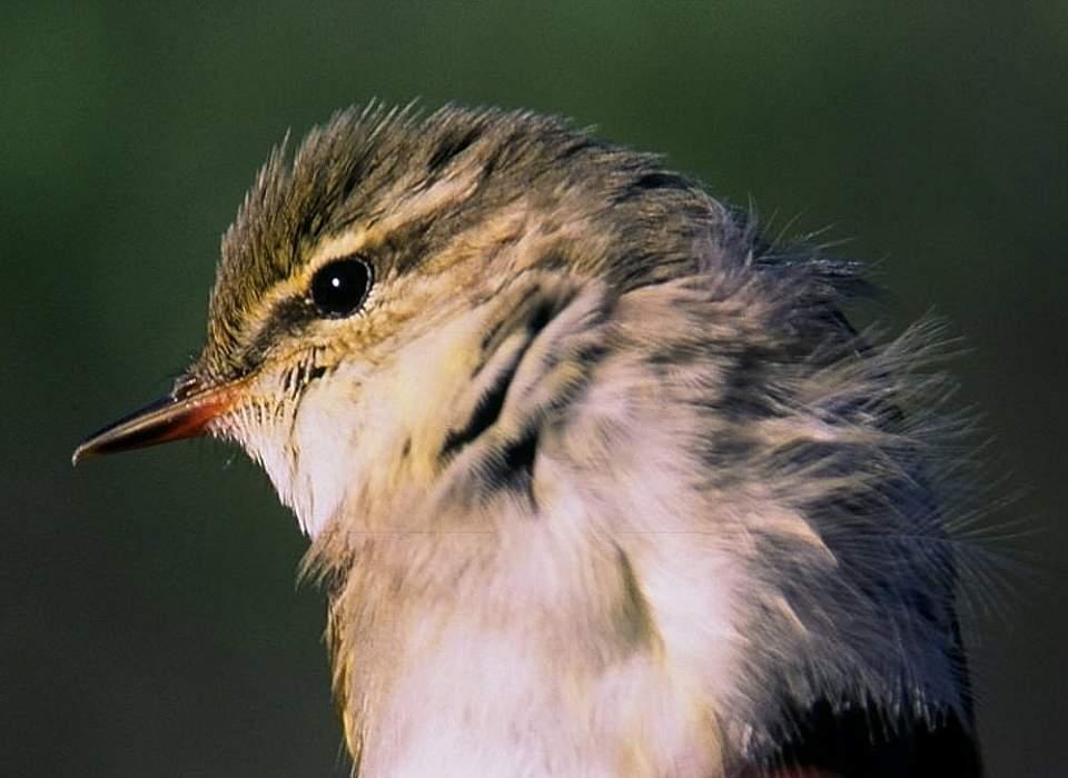 Alaska species birds Arctic warbler Denali Hwy2 ABO med