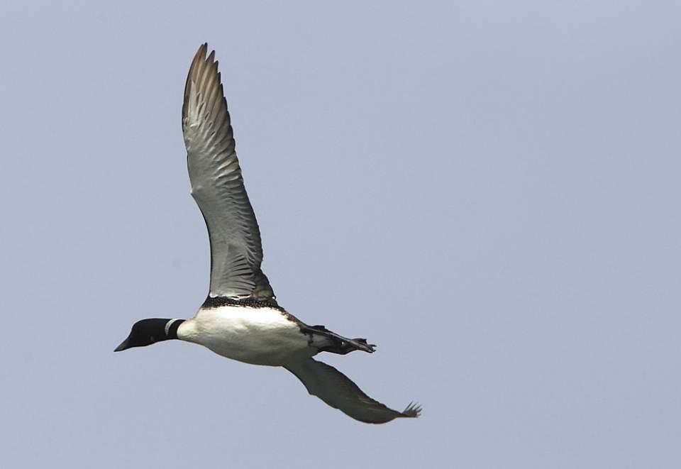 Alaska species birds Common Loon flies 5 2548