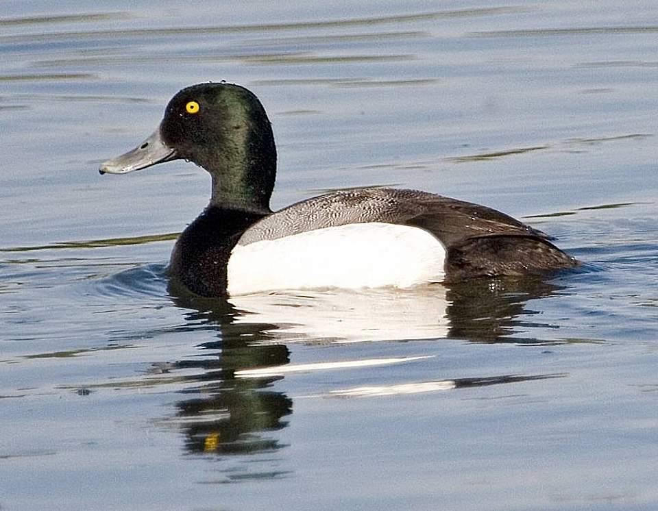 Alaska species birds FWS Donna Dewhurst Greater Scaup