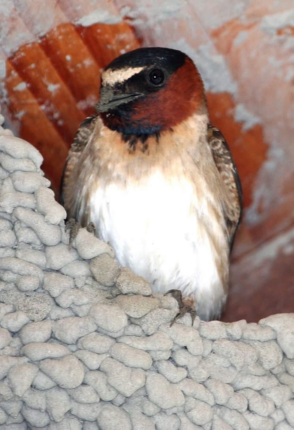 Alaska species birds FWS Donna Dewhurst cliffswallow