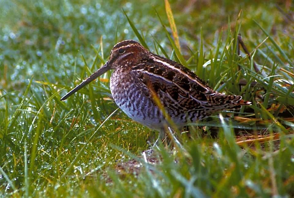 Alaska species birds FWS Tim Bowman commonsnipe
