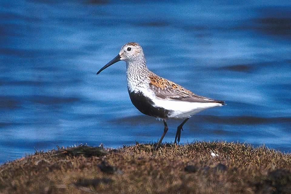 Alaska species birds FWS Tim Bowman dunlin
