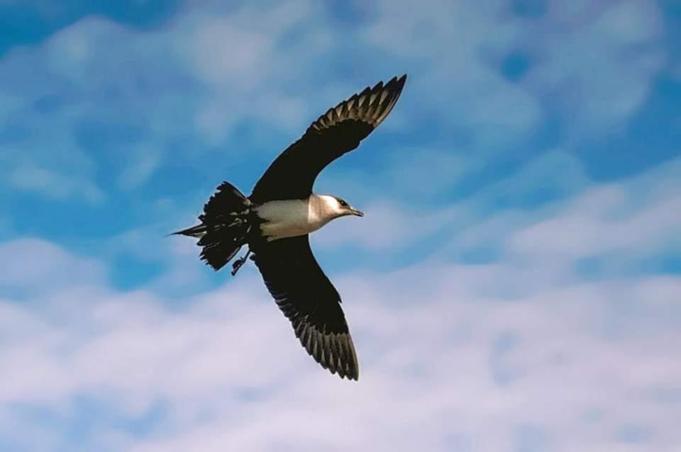 Alaska species birds FWS Tim Bowman parasiticjaeger