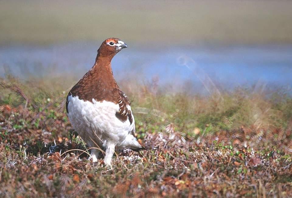 Alaska species birds FWS Tim Bowman willowptarmigan
