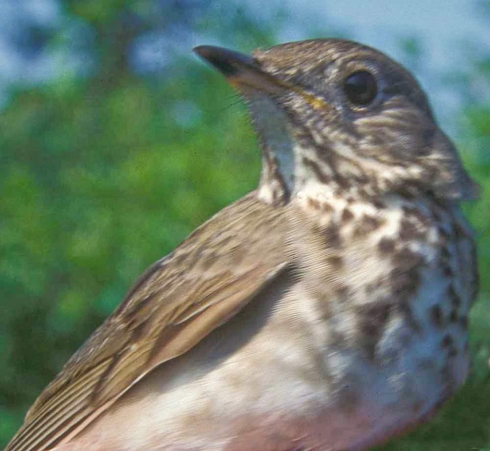 Alaska species birds Gray cheeked thrush C Handel med