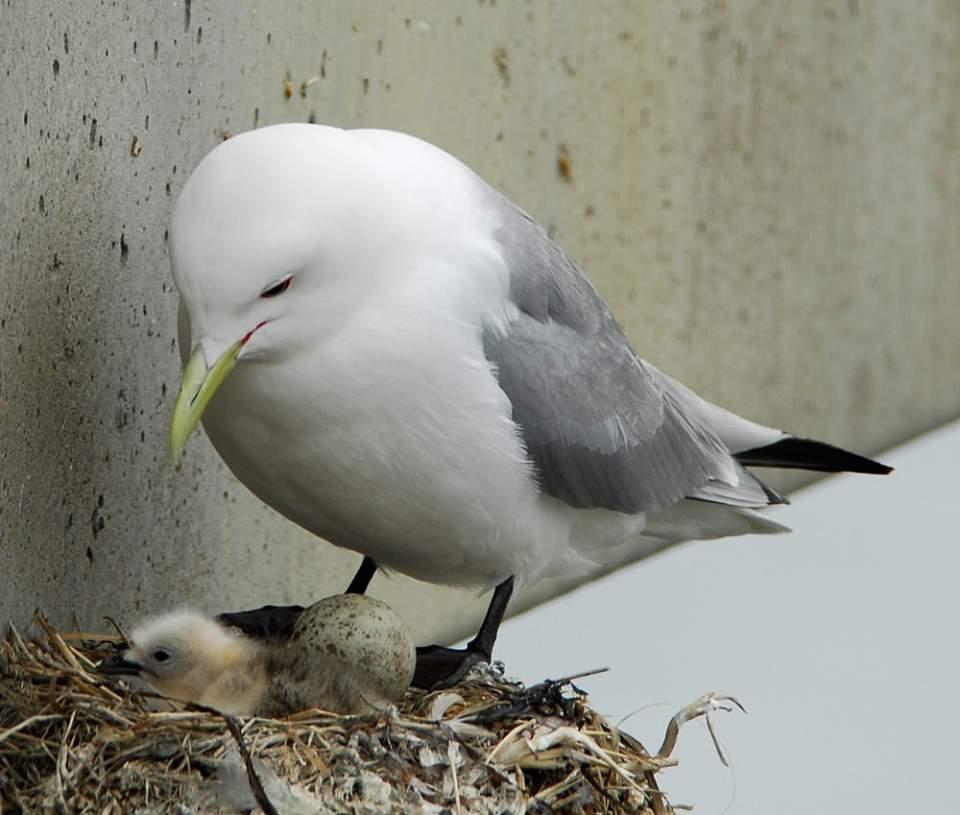 Alaska species birds Mew Gull chick egg 2214