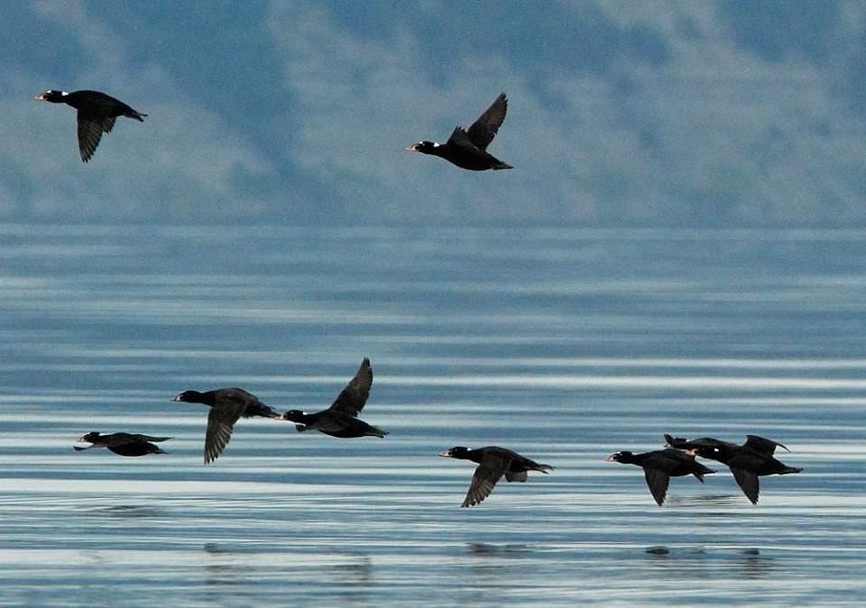 Alaska species birds Surf Scoters fly 4 2274