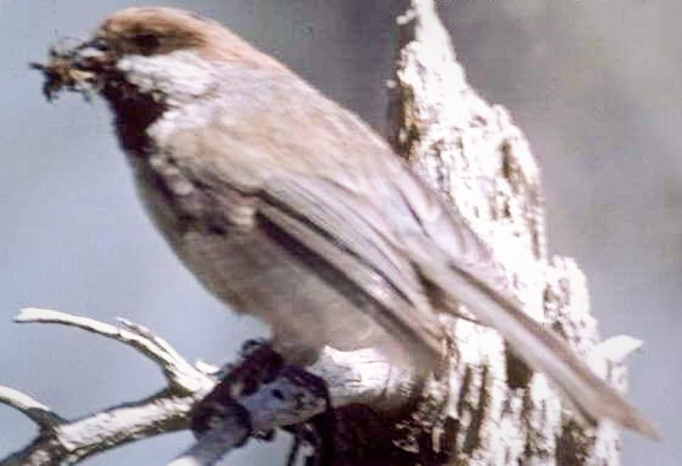 Alaska species birds boreal chickadee