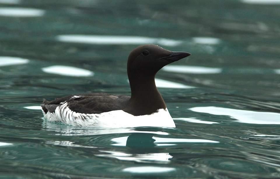 Alaska species birds common murre 3 2339