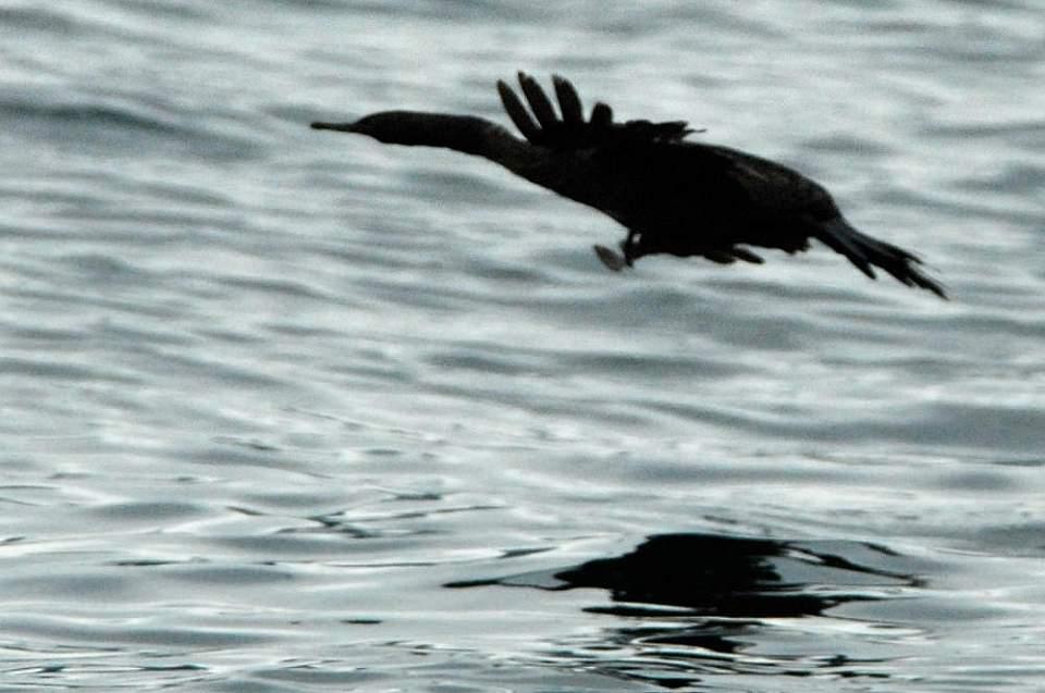 Alaska species birds cormorant pelagic 1249