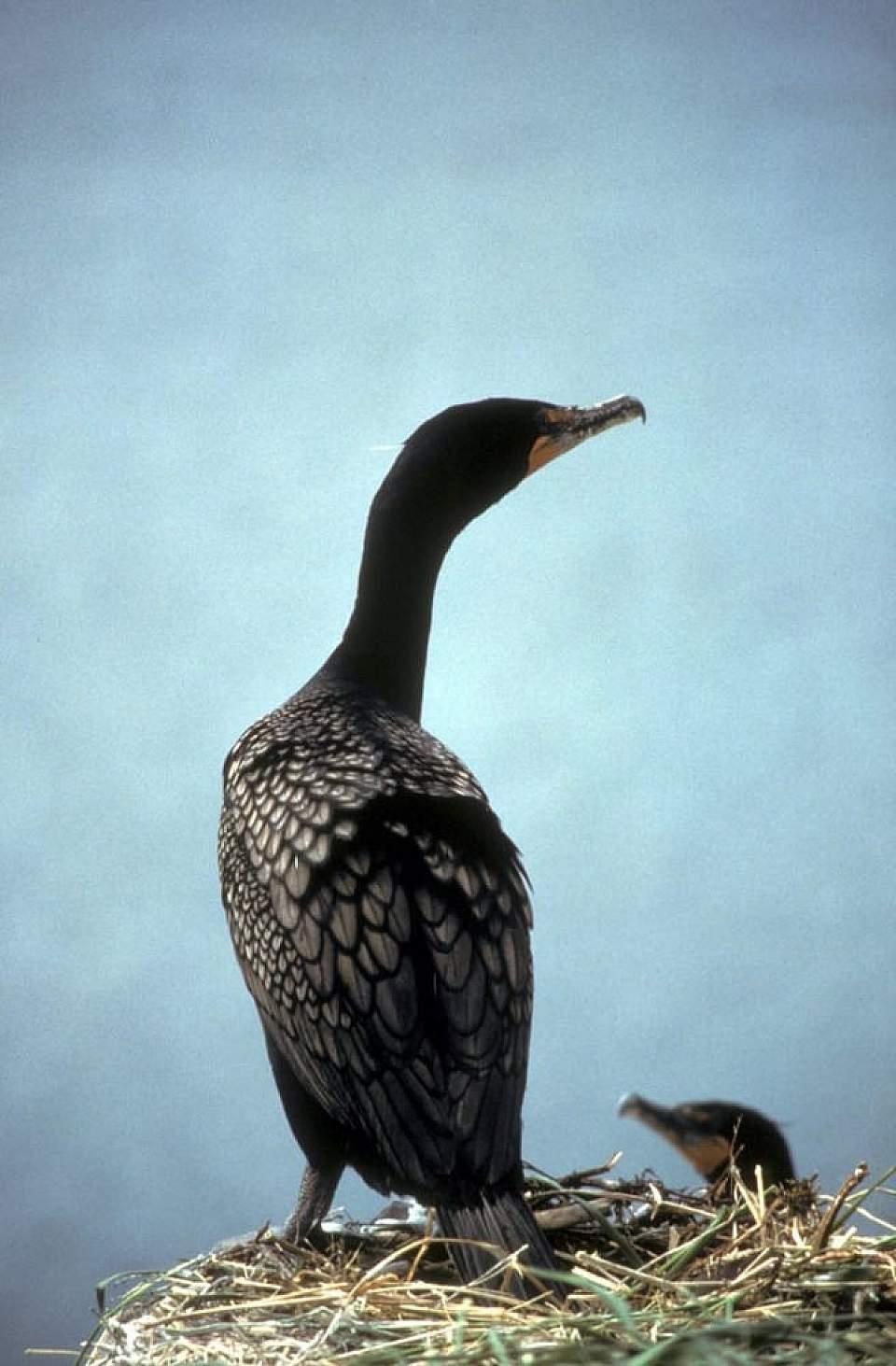 Alaska species birds double crested cormorant by Donna Dewhurst