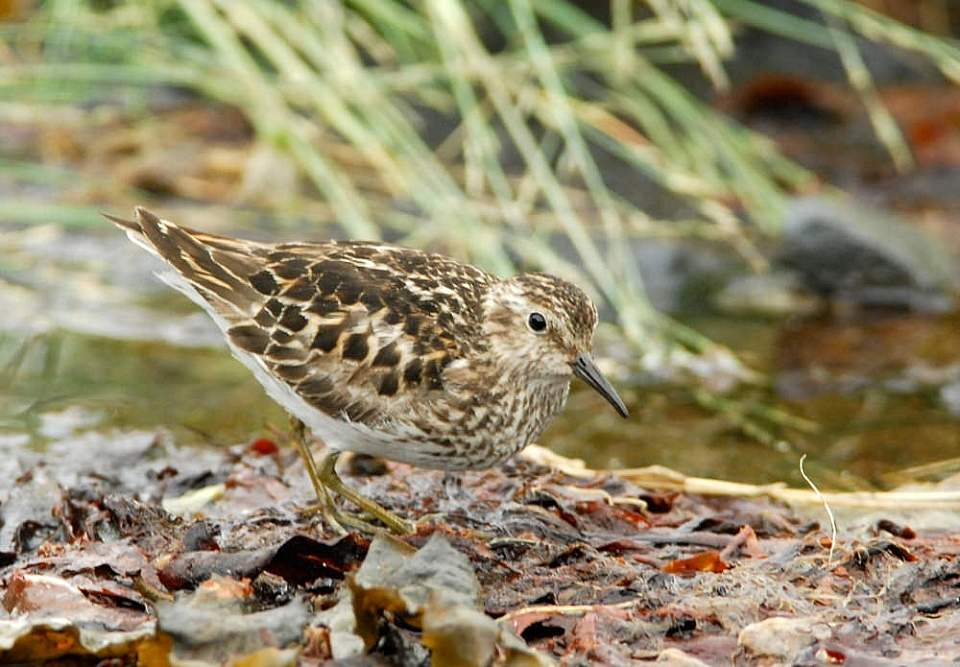 Alaska species birds least sandpiper 1464