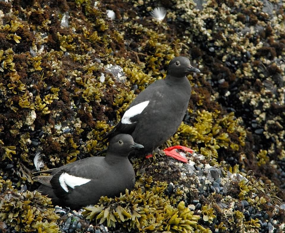 Alaska species birds pigeon guillemots 4 2325