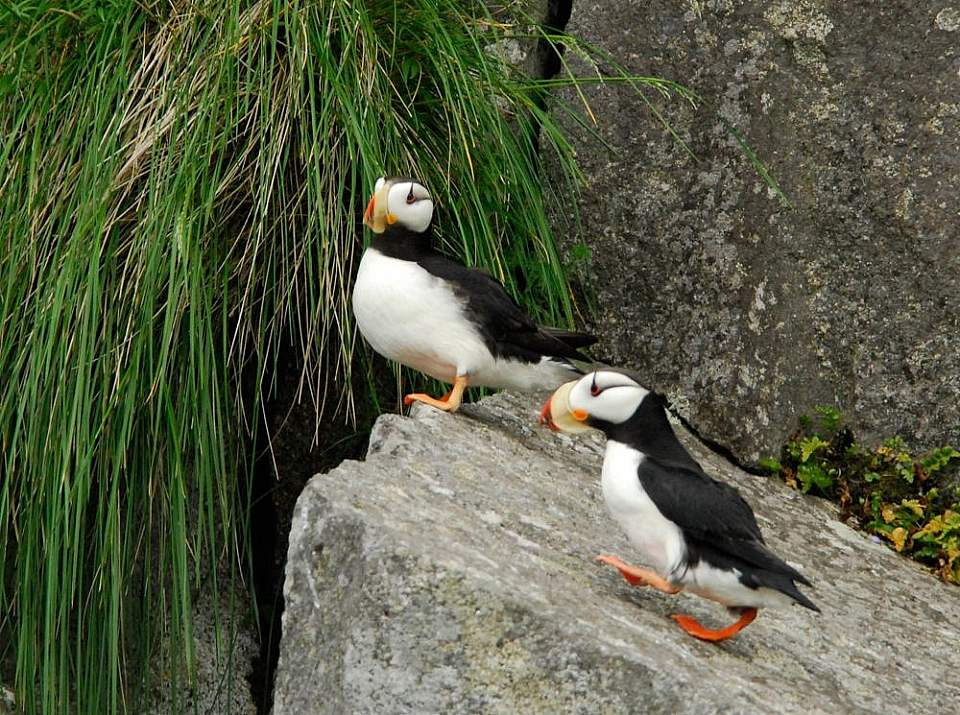 """Puffins are nicknamed """"sea parrots"""" – and sometimes """"clowns of the sea""""!"""