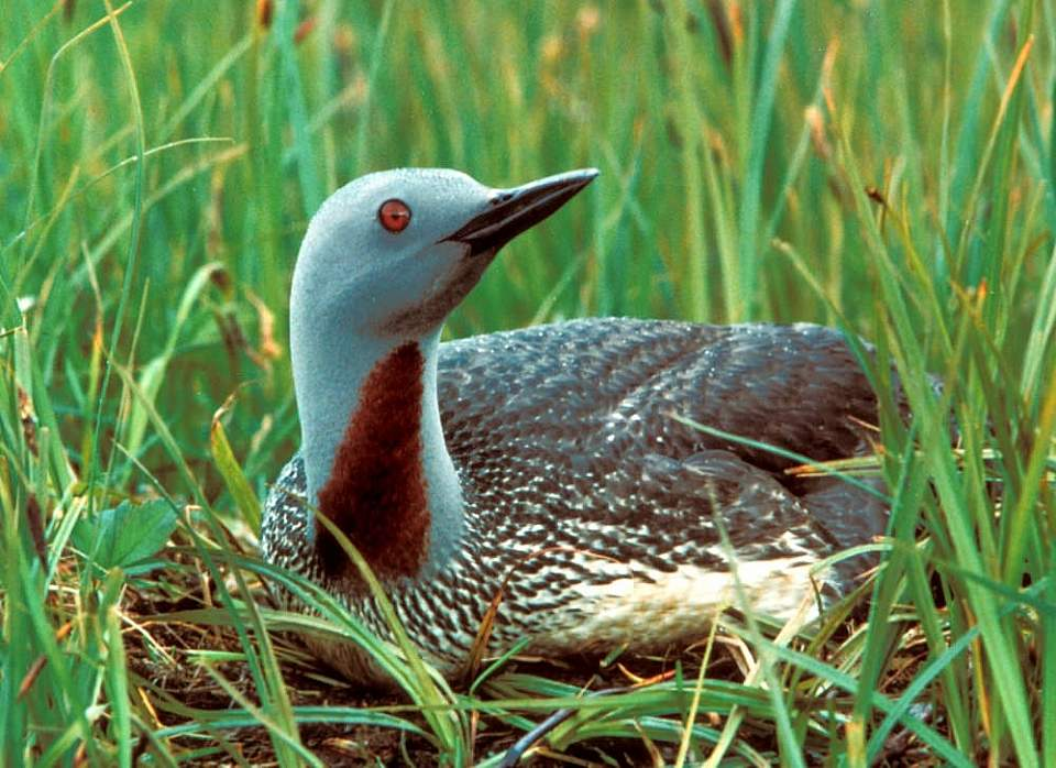 Alaska species birds red throated loon