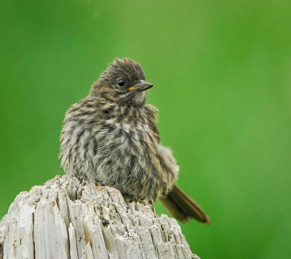 Alaska species birds song sparrow AK 1472