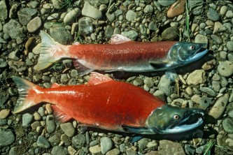 Alaska species fish sockeye salmon