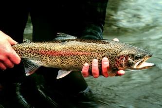 Alaska species fish rainbow trout 2