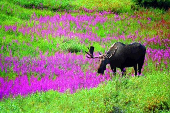 Alaska species land mammals MOOSE INFLOWERS
