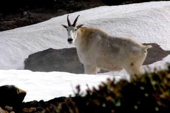 Alaska species land mammals Boyd Porter goatjuly055 KTN